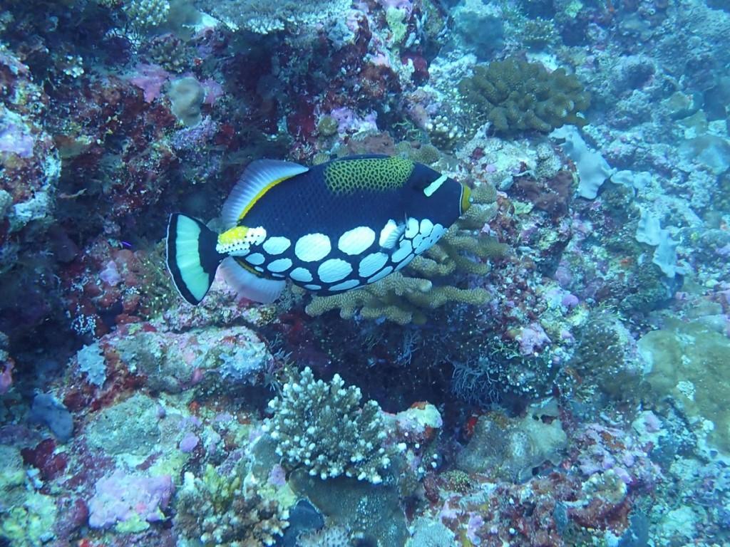 Underwater Dive Time Leopard Drückerfisch Malediven